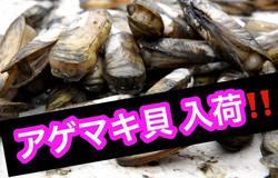 アゲマキ貝 竹野鮮魚 有明海.jpg